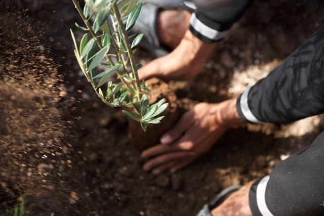 One tree planted will produce for generations of the family. The olive tree is a sign of peace and prosperity in Morocco.